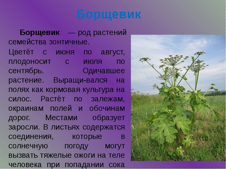 Борщевик Цветёт с июня по август, плодоносит с июля по сентябрь. Одичавшее ра...