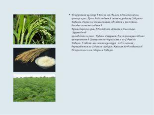 Из крупяных культур в России основными являются просо, гречиха и рис. Просо в