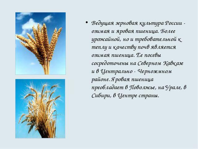 Ведущая зерновая культура России - озимая и яровая пшеница. Более урожайной,...