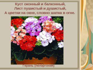 Куст оконный и балконный, Лист пушистый и душистый, А цветки на окне, словно