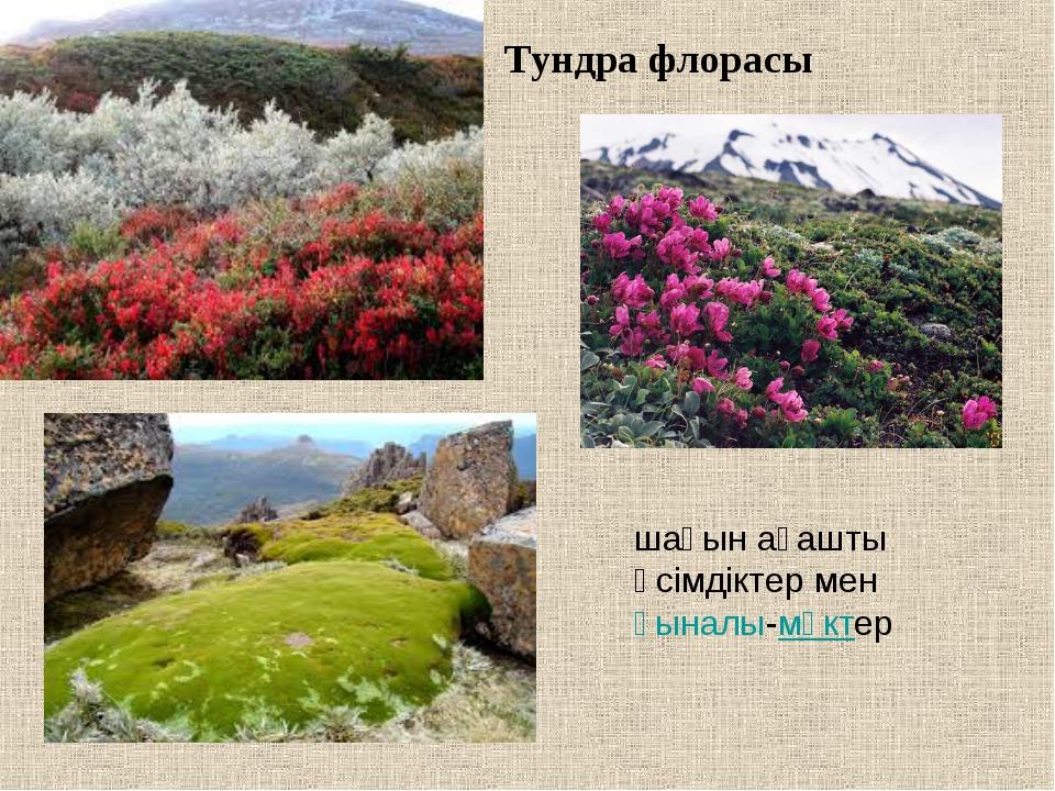 Тундра флорасы шағын ағашты өсімдіктер менқыналы-мүктер