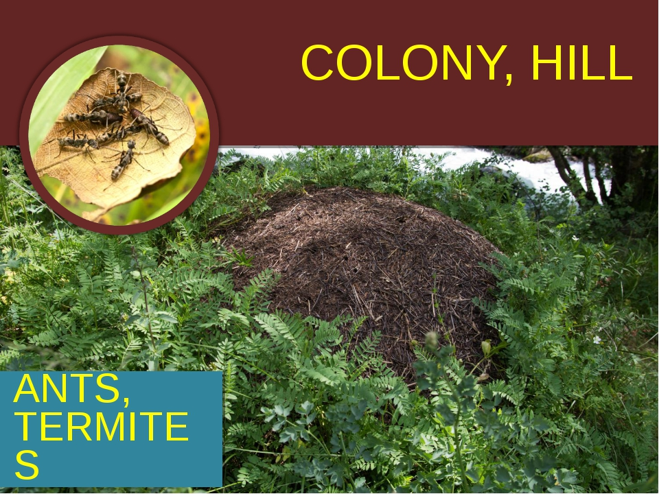 COLONY, HILL ANTS, TERMITES