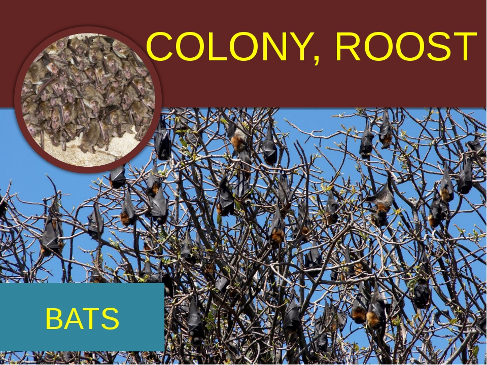 COLONY, ROOST BATS