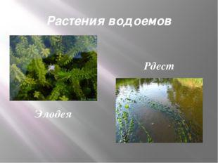 Растения водоемов Элодея Рдест