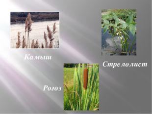 Камыш Стрелолист Рогоз