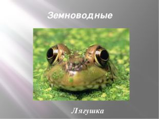 Земноводные Лягушка