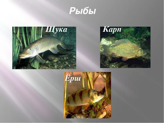 Рыбы Щука Карп Ёрш