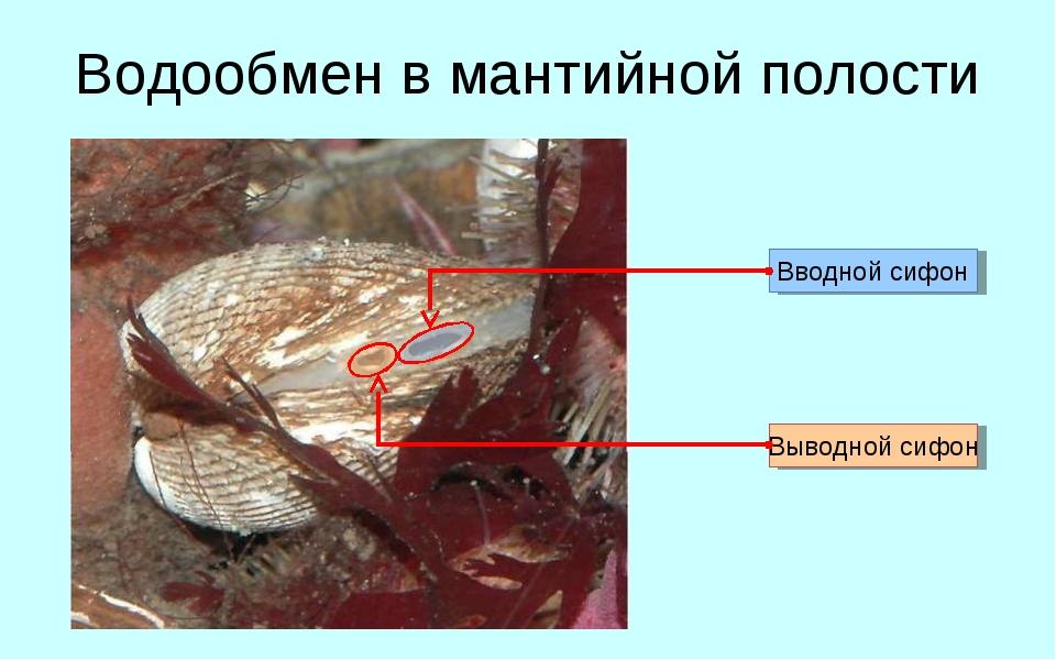 Водообмен в мантийной полости Вводной сифон Выводной сифон