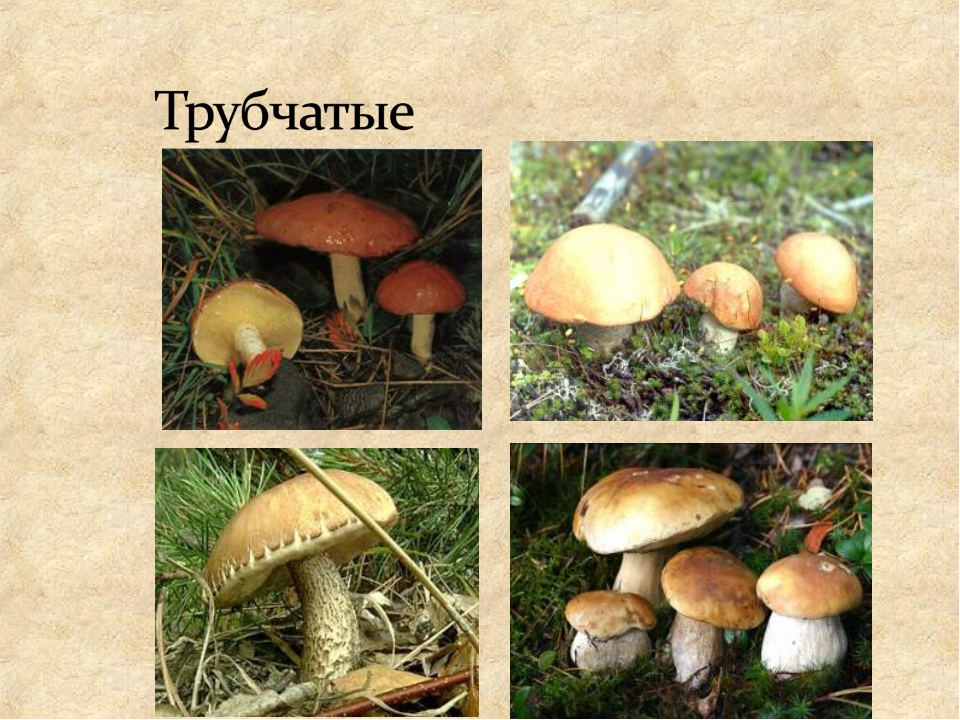 стиле виды трубчатых грибов фото и описание всего лишь