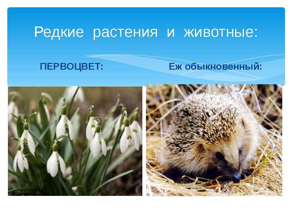 Редкие растения и животные: ПЕРВОЦВЕТ: Еж обыкновенный: