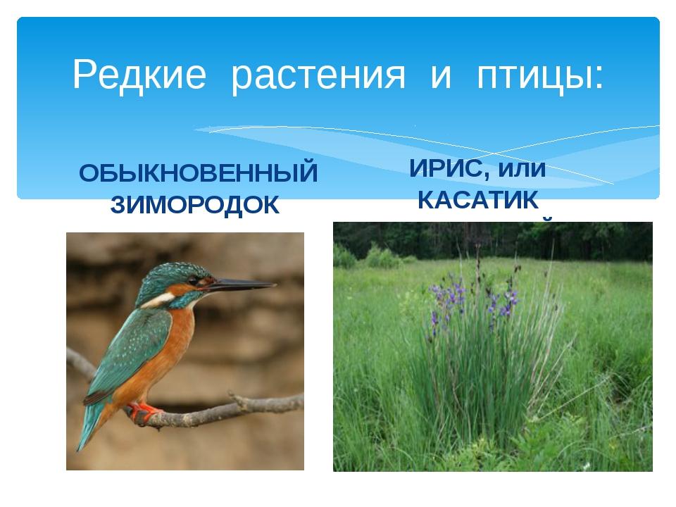 Редкие растения и птицы: ОБЫКНОВЕННЫЙ ЗИМОРОДОК ИРИС, или КАСАТИК СИБИРСКИЙ