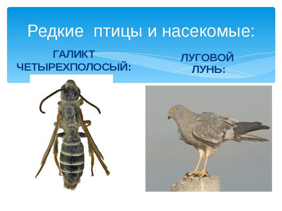 Редкие птицы и насекомые: ГАЛИКТ ЧЕТЫРЕХПОЛОСЫЙ: ЛУГОВОЙ ЛУНЬ: