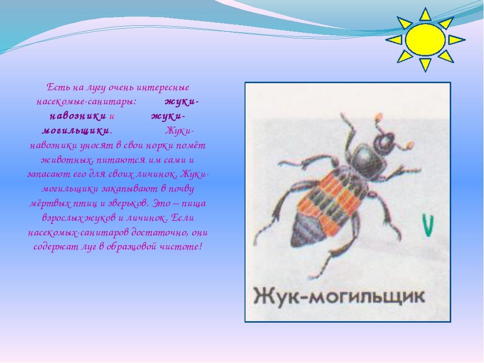 Есть на лугу очень интересные насекомые-санитары: жуки-навозники и жуки-могил...