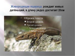 Живородящая ящерица, рождает живых детёнышей, в длину редко достигает 20см