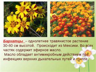 Бархатцы – однолетнее травянистое растение 30-80 см высотой. Происходит из Ме