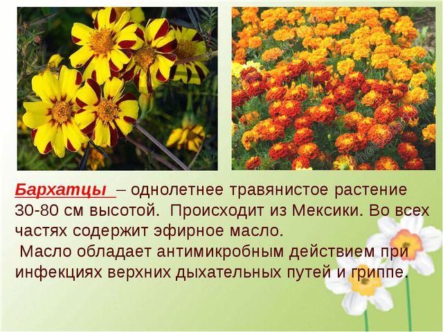 Бархатцы – однолетнее травянистое растение 30-80 см высотой. Происходит из Ме...