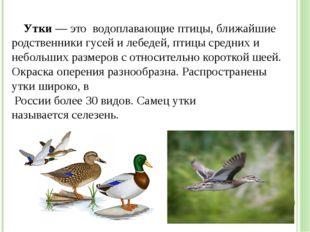 Утки— это водоплавающие птицы, ближайшие родственники гусей и лебедей, птиц
