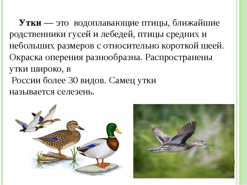 Утки— это водоплавающие птицы, ближайшие родственники гусей и лебедей, птиц...