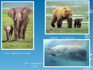 Слон – одного раз в 4 года Медведь – 2-3 через год Кит – одного раз в 2 года