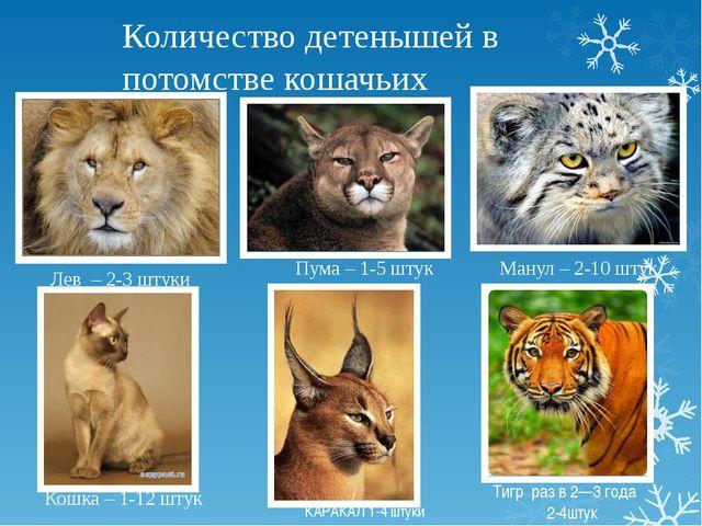 Количество детенышей в потомстве кошачьих Пума – 1-5 штук Кошка – 1-12 штук М...