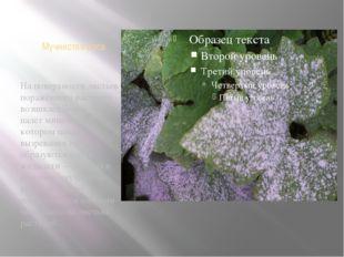 Мучнистая роса На поверхности листьев поражённого растения возникает белый на
