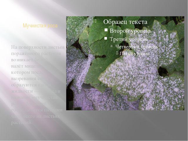 Мучнистая роса На поверхности листьев поражённого растения возникает белый на...