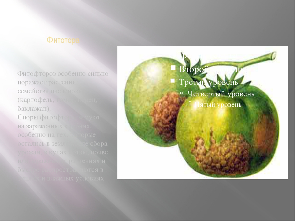 Фитотора Фитофтороз особенно сильно поражает растения семействапаслёновых (к...