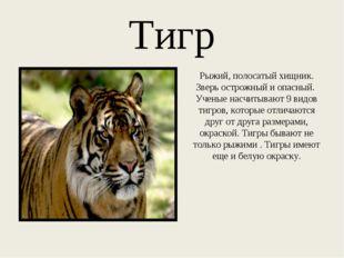 Тигр Рыжий, полосатый хищник. Зверь острожный и опасный. Ученые насчитывают 9
