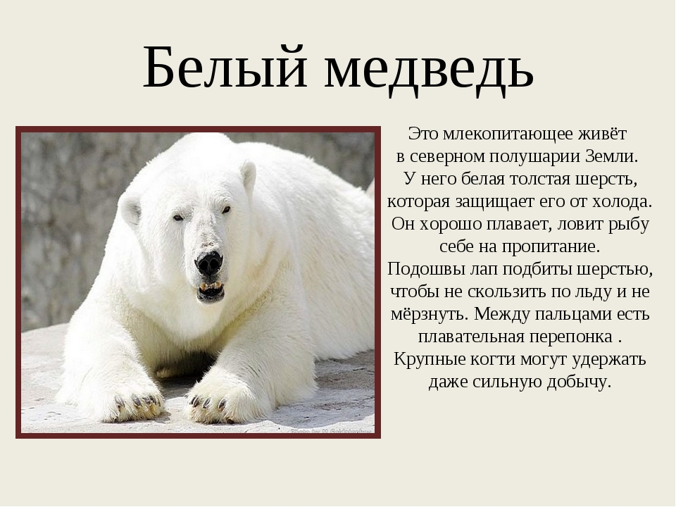 Белый медведь Это млекопитающее живёт в северном полушарии Земли. У него бела...