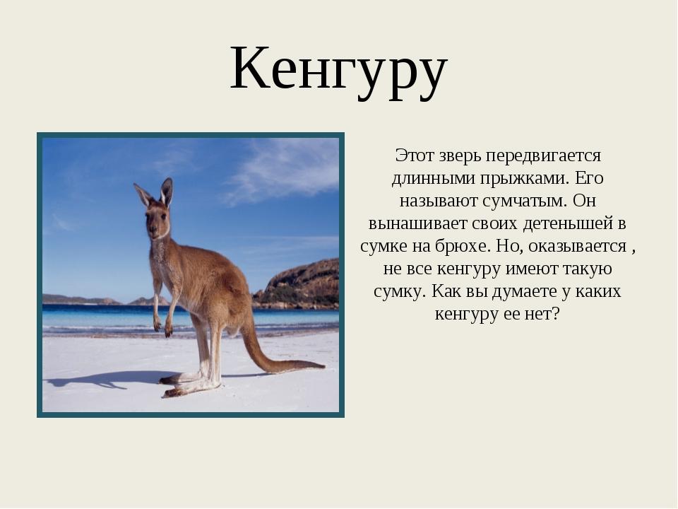 Кенгуру Этот зверь передвигается длинными прыжками. Его называют сумчатым. Он...