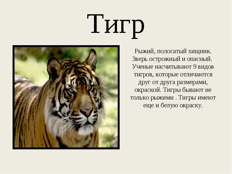 Тигр Рыжий, полосатый хищник. Зверь острожный и опасный. Ученые насчитывают 9...