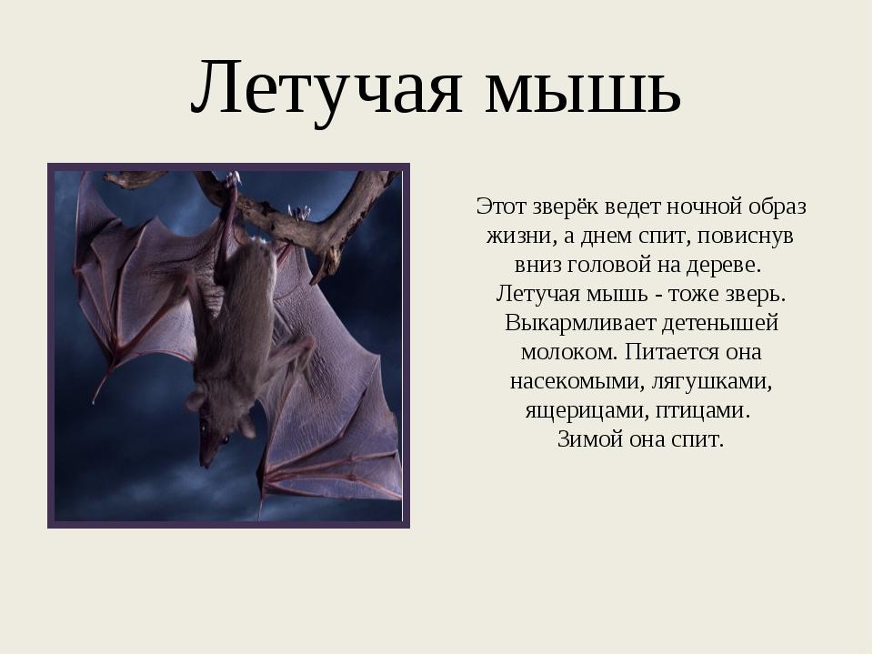 Летучая мышь Этот зверёк ведет ночной образ жизни, а днем спит, повиснув вниз...