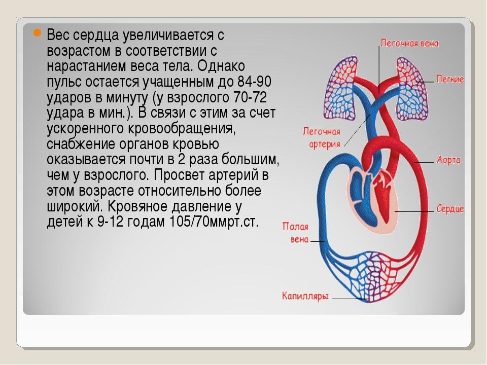 Вес сердца увеличивается с возрастом в соответствии с нарастанием веса тела....