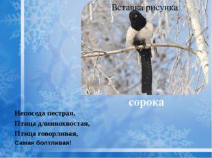 сорока Непоседа пестрая, Птица длиннохвостая, Птица говорливая, Самая болтлив