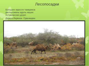 Лесопосадки Большие заросли тамарикса расположены вдоль наших Астраханских до