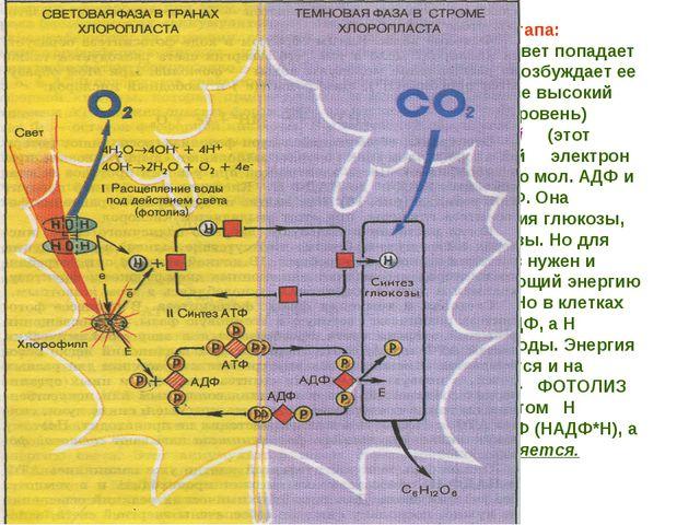 Выделяют 2 этапа: - Фотофизический (свет попадает на мол. Хлорофилла, возбужд...