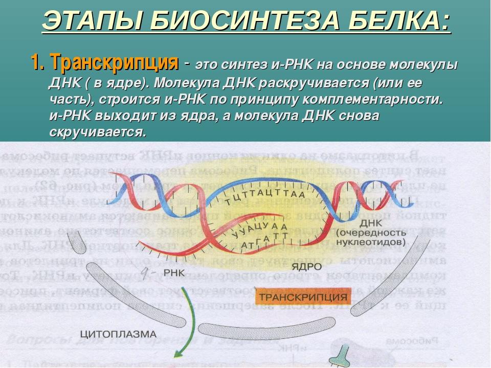 ЭТАПЫ БИОСИНТЕЗА БЕЛКА: 1. Транскрипция - это синтез и-РНК на основе молекулы...