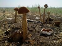 Battarrea phalloides (Dicks.) Pers. – БАТТАРРЕЯ ВЕСЕЛКОВАЯ