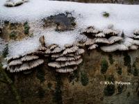Schizophyllum commune Fr.: Fr. – ЩЕЛЕЛИСТНИК ОБЫКНОВЕННЫЙ