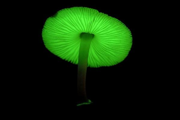 люминесцентные грибы
