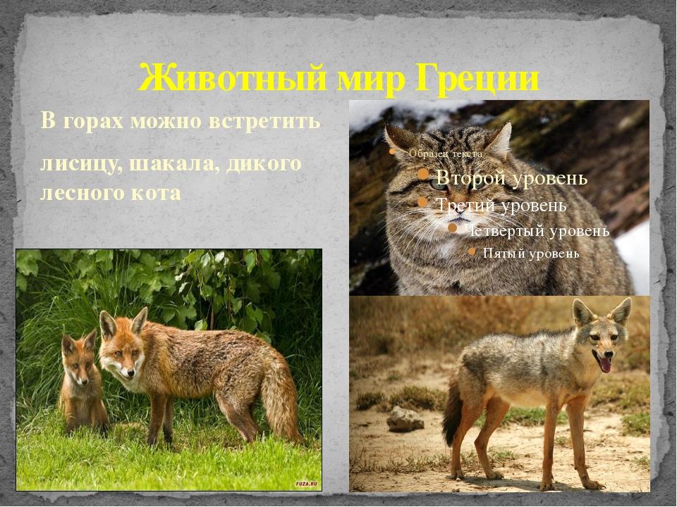 Животный мир Греции В горах можно встретить лисицу, шакала, дикого лесного кота