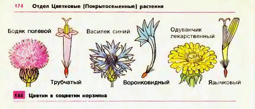 Цветки и соцветия корзинка