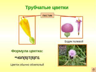 Трубчатые цветки Формула цветка: *Ч0Л(5)Т(5)П1 Бодяк полевой Цветок обычно об