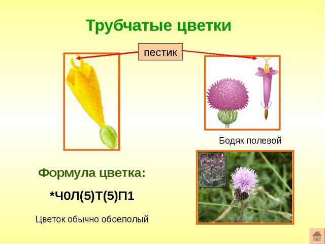 Трубчатые цветки Формула цветка: *Ч0Л(5)Т(5)П1 Бодяк полевой Цветок обычно об...