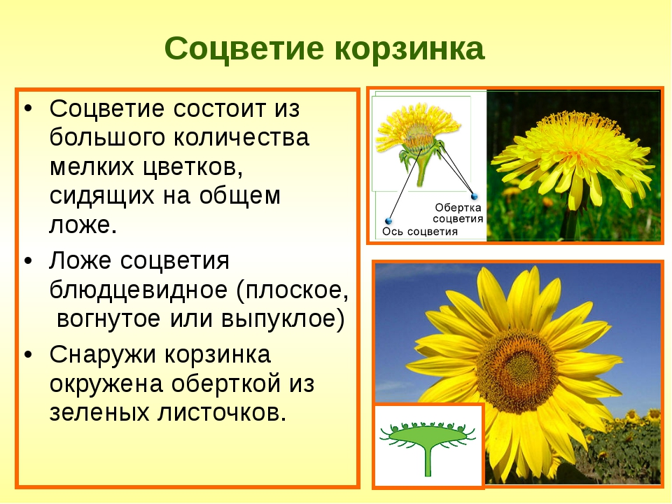 Соцветие корзинка Соцветие состоит из большого количества мелких цветков, сид...