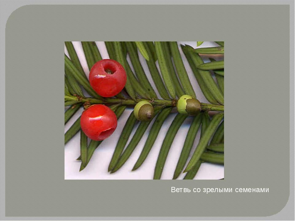 Ветвь со зрелыми семенами Тис я́годный