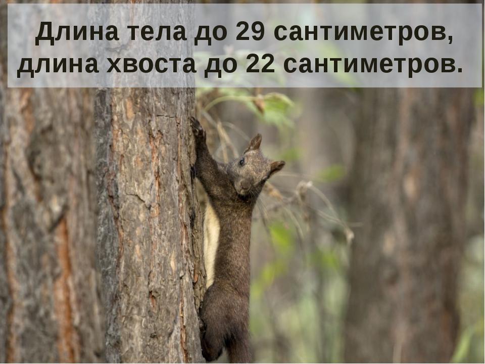 Длина тела до 29 сантиметров, длина хвоста до 22 сантиметров.