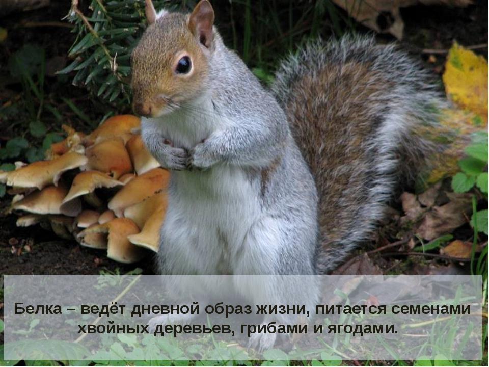 Белка – ведёт дневной образ жизни, питается семенами хвойных деревьев, гриба...