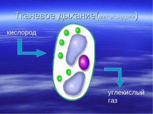 Тканевое дыхание(митохондрии)