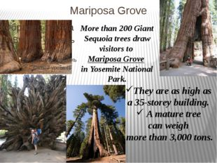 Mariposa Grove More than 200 Giant Sequoia trees draw visitors to Mariposa Gr